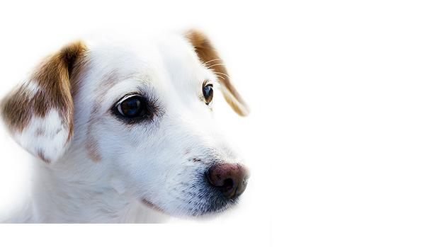 pies jest_1